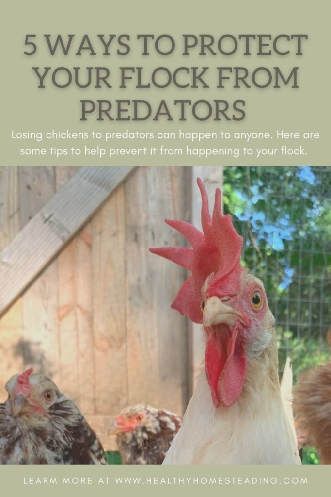 protecting chickens from predators